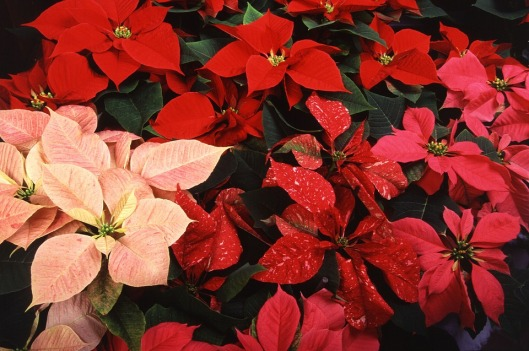 poinsettias-620466_960_720