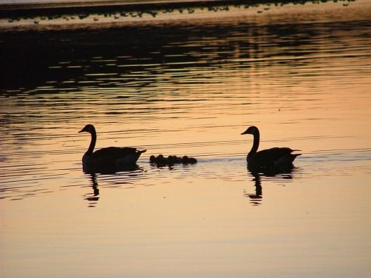 swans-339349_960_720