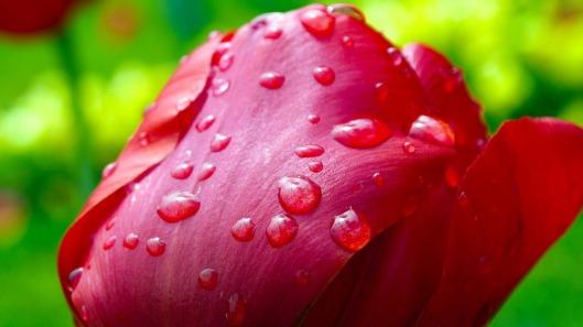 tulip-341677_960_720