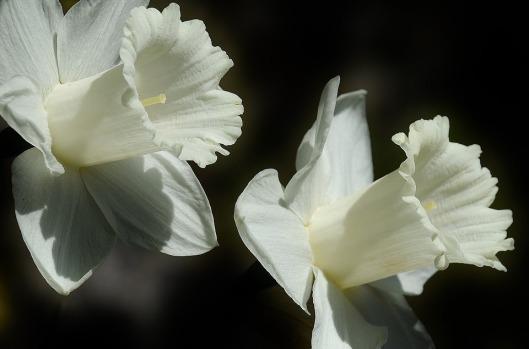 daffodil-401086_960_720