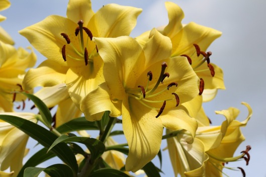 lily-1062372_960_720