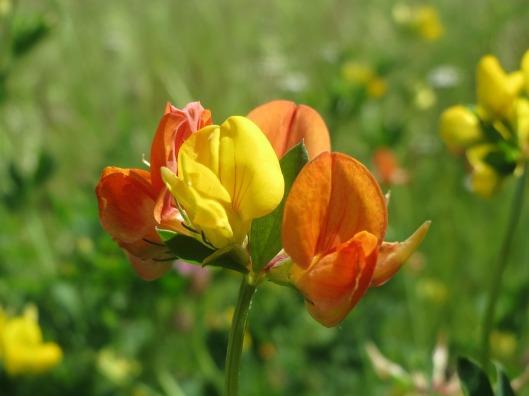 lotus-corniculatus-855451_960_720