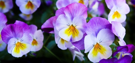 pansy-337140_960_720