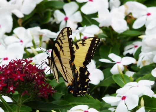 monarch-237682_960_720