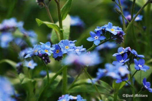 smiling-to-you-with-forget-me-not