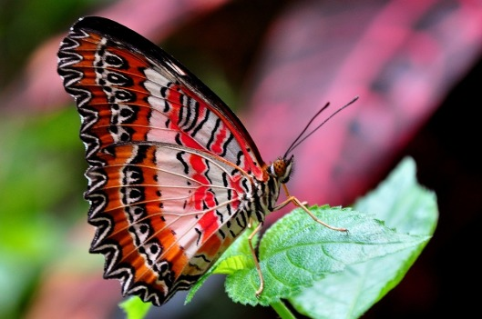 red-lacewing-1394296_960_720