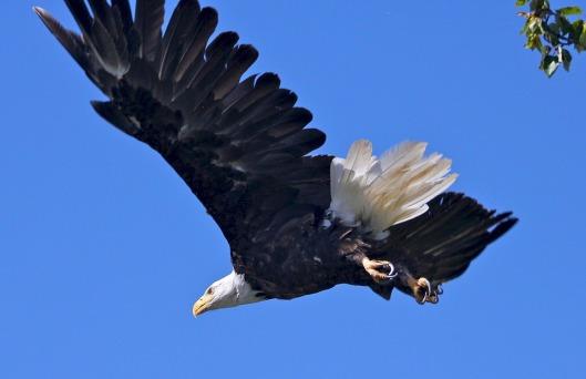 bald-eagle-1379813_960_720