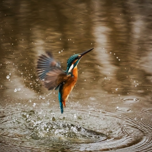 kingfisher-1068684_960_720