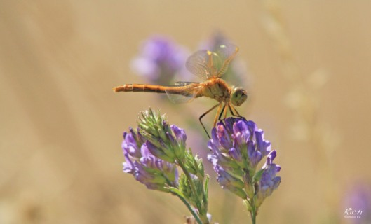 golden-dragonfly