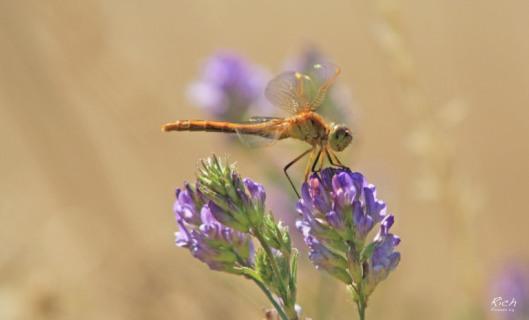 golden-dragonfly