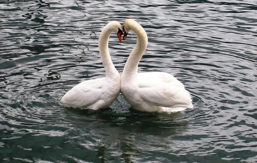 swans-342887_960_720